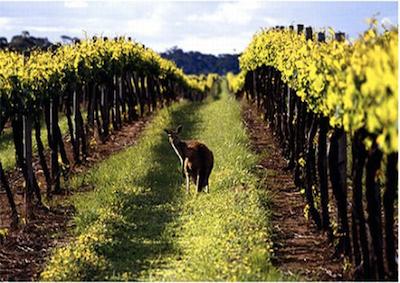Stage per under 30 italiani, imparano a fare vino in Australia
