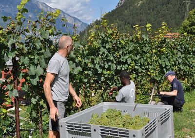 Trentino: vendemmia 2015, in vigna qualità e quantità (+15%)