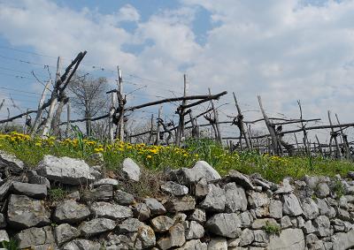 Vino: dopo il Tocai l'Italia rischia di perdere il Terrano