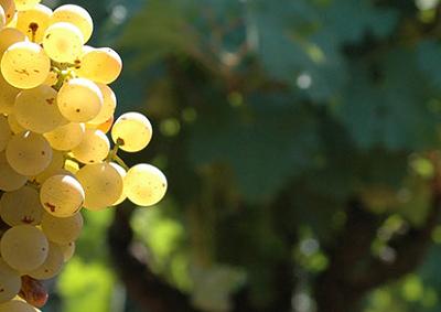 Nuovi diritti di impianto in Sicilia per 1.600 ettari