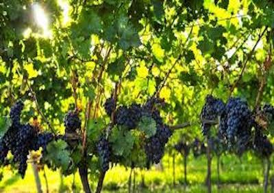 Continua l'espansione anche italiana del mercato vinicolo USA