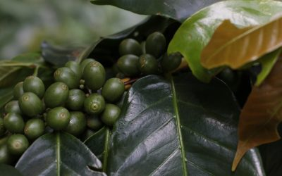 UAE plans to grow its own coffee and wheat