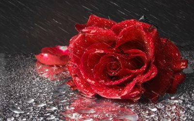 Natural Rosewater The Magic Potion